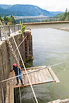 A Native American woman fishing for sockeye salmon from traditional platforms on the Columbia River at Cascade Locks, Oregon