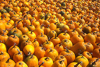 AJ5732, pumpkins, harvest, close-up, display, autumn, A large amount of pumpkins for sale at a market in the state of Vermont.