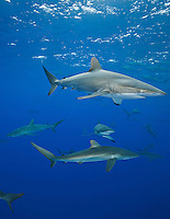 RM0747-D. Silky Shark (Carcharhinus falciformis), grow to 3.3m, usually pelagic, sometimes in big schools, as here, when gathered together to feed on fish in baitball. Baja, Mexico, Pacific Ocean. <br /> Photo Copyright &copy; Brandon Cole. All rights reserved worldwide.  www.brandoncole.com