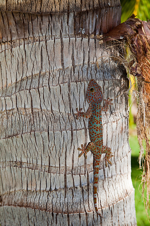 "Tokay geckos are among the largest geckos, with adults averaging 10-12"" in total length. They are indigenous to Asia, parts of India, Indonesia, and the Philippines, and have also been introduced to Hawaii, Florida, and some Caribbean Islands. Dumaguete, Philippines."