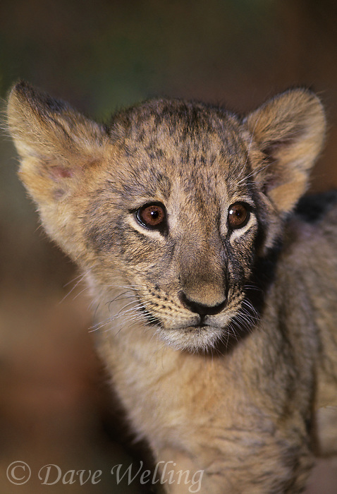 656259170 a willdlife rescue african lion cub panthera leo at a rescue facility in southern california species is native to sub-saharan africa