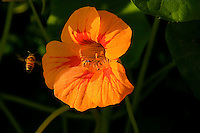 A bee flies by an orange flower of nusturtium with red marking ,in the early sunny morning .