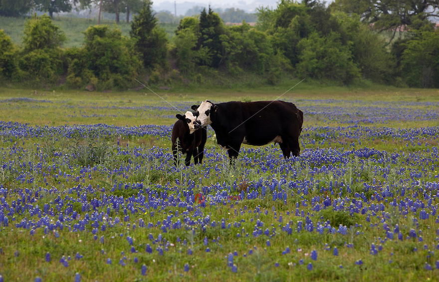 Hostein Dairy cows graze in a Bluebonnet pasture; Texas Hill Country; Texas; USA