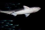 Monterey Bay Aquarium live Shark