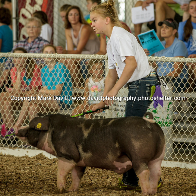 Tricia Veldhuizen makes sure her hog is noticed buy judges at the Polk County Fair.