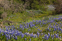 Texas Bluebonnet Wildflower Trail in a meadow near Pontotoc, Texas