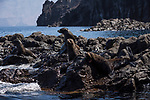 Guadalupe Island, Baja California, Mexico; several Guadalupe fur seals warming themselves on the rocks in late afternoon sunlight