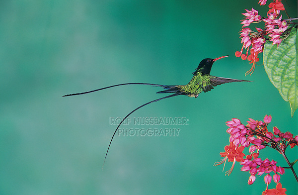 Red-billed Streamertail, Trochilus polytmus, male feeding on Bleeding Heart Vine(Clerodendrum thomsoniae), Rocklands, Montego Bay, Jamaica, Caribbean