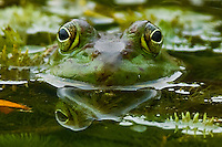 Ponds Full of Frogs