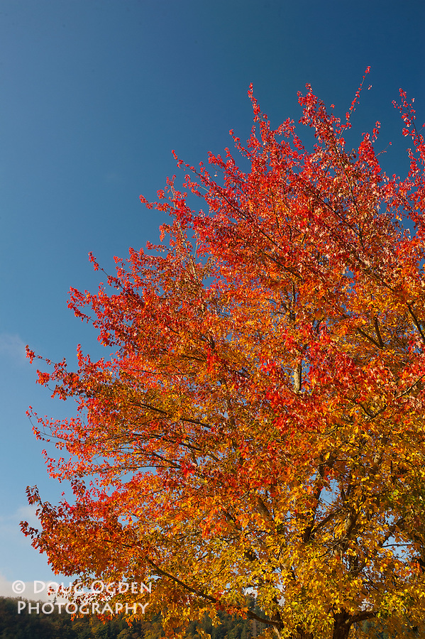 maple tree in beautiful Fall colors