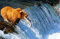 Brown bear catching salmon. Brooks Falls Katmai Park, Alaska.