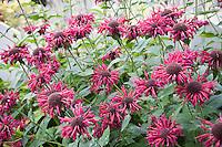 Monarda didyma 'Marshall's Delight' Beebalm, Scarlet Bergamot, or Oswego Tea pink magenta flowers in perennial garden