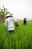 VIETNAM, Hanoi countryside, rice farmers Nguyen Huu Uc and Nguyen Thi Ha work in their family rice field, Nguyen Huu Y village