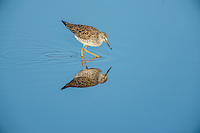 Lesser yellowlegs (Tringa flavipes).  Breeding plumage, California.  Late March.