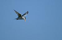 Zwergseeschwalbe, Zwerg-Seeschwalbe, Seeschwalbe, im Flug, Flugbild, Sterna albifrons, little tern