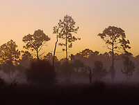 Pine trees in morning fog, Big Cypress National Preserve, Florida, December 1998