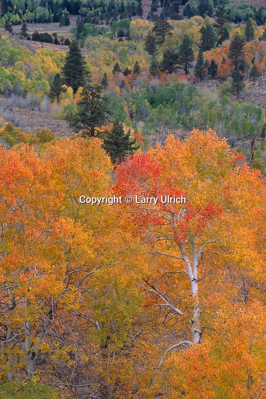 Aspens and Jeffrey pines, Stockade Flat<br /> Little Walker River Valley<br /> Toiyabe National Forest<br /> Sierra Nevada,  California
