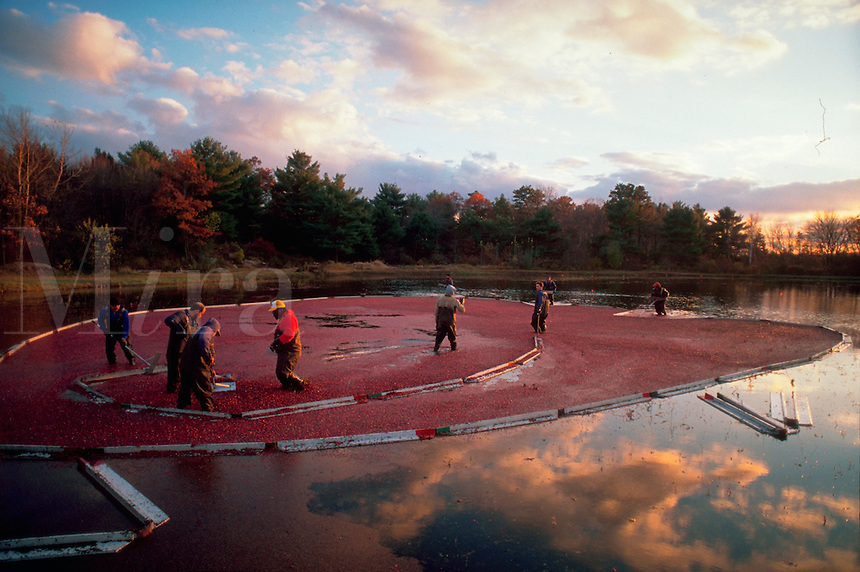 Cranberry harvest. Carver, Massachusetts.