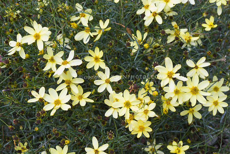 Coreopsis verticillata 'Moonbeam' Tickseed perennial flowers for sunny spots