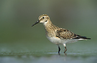 Baird's Sandpiper, Calidris bairdii, adult, Lake Corpus Christi, Texas, USA