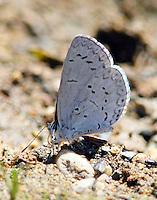 Boisduval's blue muding