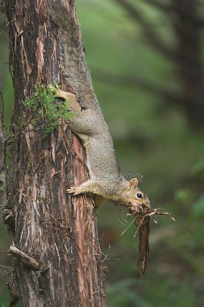 Eastern Fox Squirrel, Sciurus niger, female collecting cedar tree bark, Hill Country, Texas, USA, June 2007