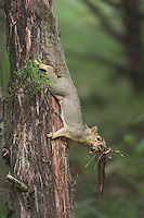 Eastern Fox Squirrel, Sciurus niger, female collecting cedar tree bark, Hill Country, Texas, USA, June 2007