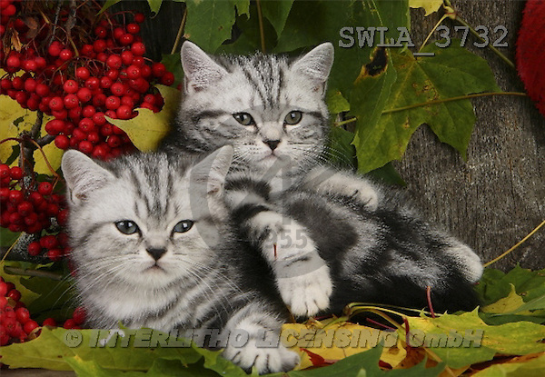 Carl, ANIMALS, photos(SWLA3732,#A#) Katzen, gatos