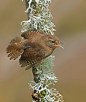 Male Pacific wren in territorial display with his wings and tail spread as he emits has challenging song.<br />