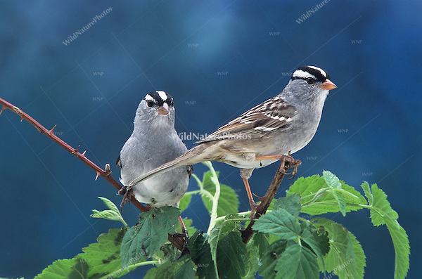 White-crowned Sparrows (Zonotrichia leucophrys), perched in a blackberry bramble with dark blue sky (Indiana)
