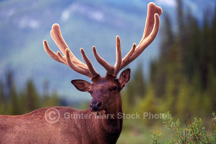 Banff National Park, Canadian Rockies, AB, Alberta, Canada - Bull Elk, Wapiti (Cervus canadensis) standing in Meadow, Antlers in Velvet