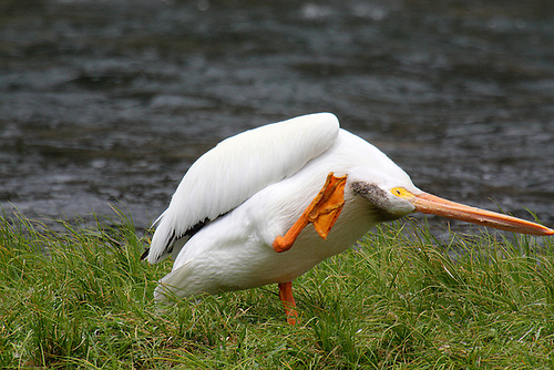 AN AMERICAN WHITE PELICAN SCRATCHES AN ITCH ALONG THE YELLOWSTONE RIVER AT YELLOWSTONE NATIONAL PARK,WYOMING