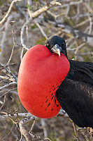 great frigatebird, Fregata minor, adult male with inflated, red gular pouch for courtship display, Galapagos Islands, Ecuador, Pacific Ocean