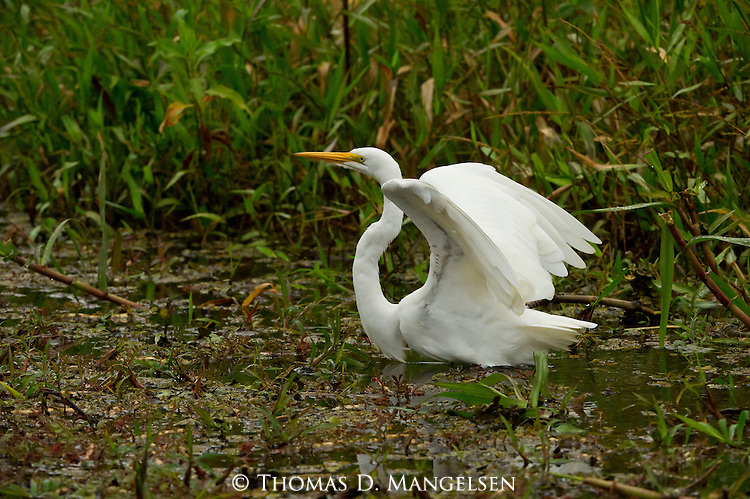 A great egret in a marshy area in the Pantanal, Mato Grosso, Brazil.