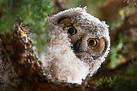 A fledgling Great Horned Owl roosts in a pine tree in Bozeman, Montana.