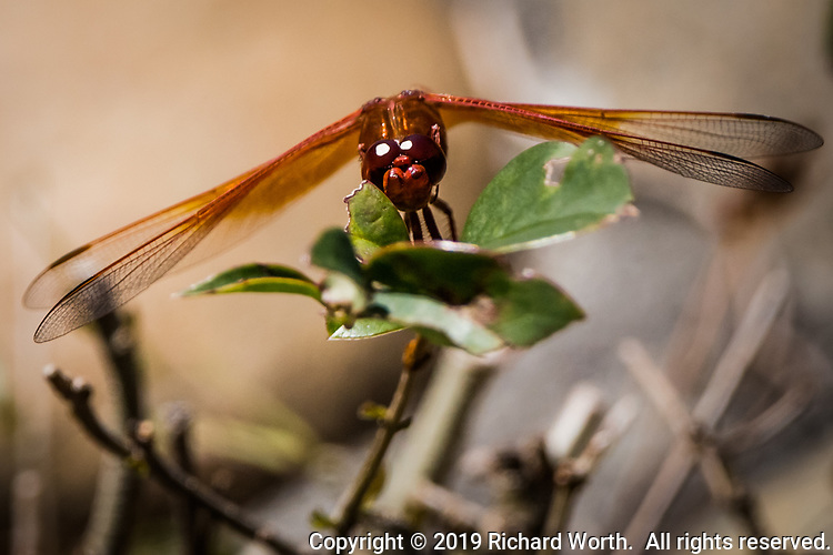 The Flame Skimmer is a bright orange colored dragonfly.  The sun reflecting in its eyes gives an eerie sense of being watched.