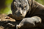 Large female Komodo dragon guarding her nest.