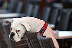 11.12.2014., Zagreb, Croatia - Sad boxer resting on the chair.<br />  <br /> Foto &copy;  nph / PIXSELL / Davor Puklavec