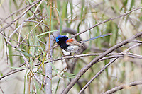 Variegated Fairy-Wren, Darling River by Wilcania Caravan Pk, NSW, Australia