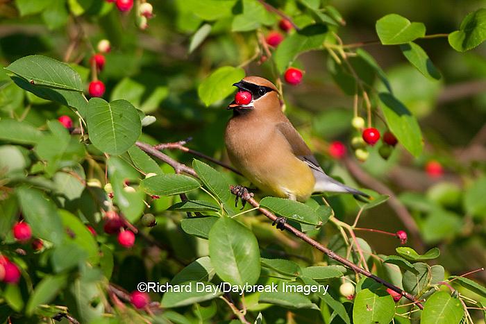 01415-03102 Cedar Waxwing (Bombycilla cedrorum) eating berry in Serviceberry Bush (Amelanchier canadensis), Marion Co., IL