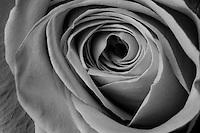 Closeup of a Rose.