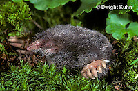 MB25-013z   Hairy-tailed Mole - digging - Parascalops breweri