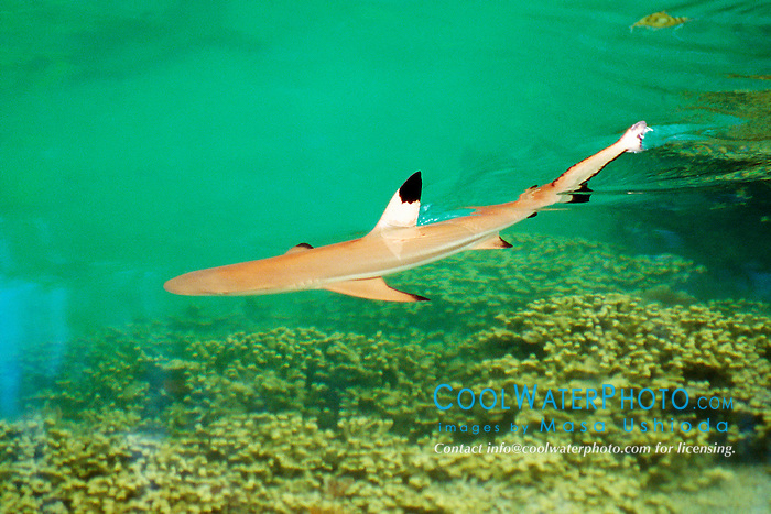 blacktip reef shark, juvenile (c), Carcharhinus melanopterus, Oahu, Hawaii, Pacific Ocean