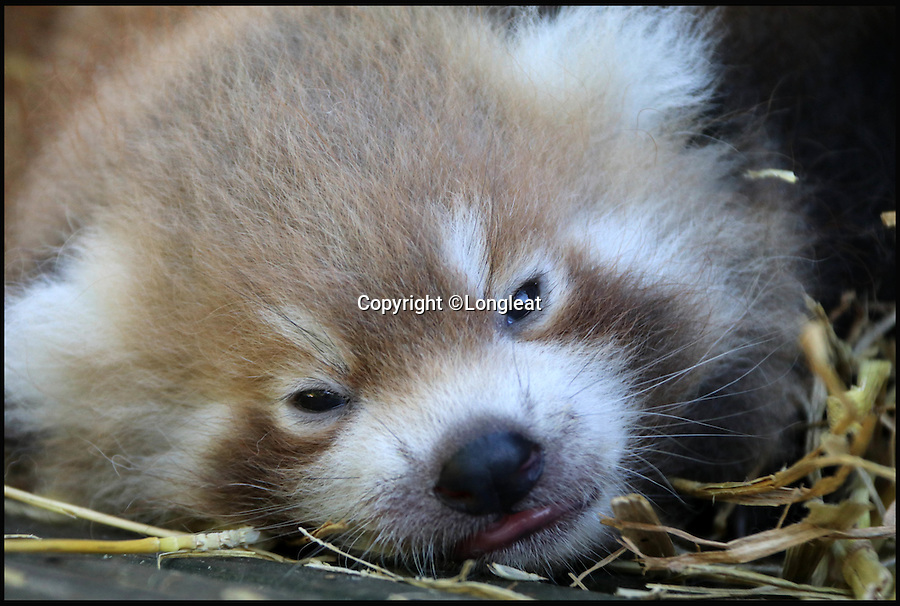 BNPS.co.uk (01202 558833)<br /> Pic: Longleat/BNPS<br /> <br /> Conservationists are heralding the arrival of two red panda cubs that are deemed critical to the fight to save the endangered species.<br /> <br /> The two baby cubs have been bred at Longleat Safari Park in Wiltshire by parents Rufina and Ajenda.<br /> <br /> Keepers at the attraction have so far stood from afar to look at the healthy newborns as their protective mum Rufina regularly moves them from one nesting site to another.