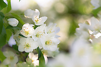 White  apple blossoms.