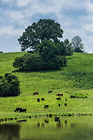 Cattle grazing in a hilly pasture, Tennessee, USA.
