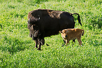 Female prairie bison with calf in Fescue prairie