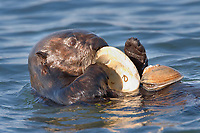 California sea otter, Enhydra lutris nereis, eating clam, Elkhorn Slough National Estuarine Research Reserve, Moss Landing, California, USA, Pacific Ocean