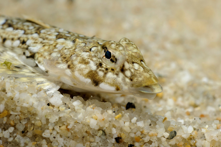 Dragonet Callionymus lyra Length to 20cm<br /> Distinctive fish. Broad and flattened at head end, slender and tapering behind. Favours shallow inshore seas, sometimes found in pools on lower shore. Adult has rather long, tapering snout. Breeding male is distinctive: marbled reddish-brown with blue spots; 1st dorsal fin is very tall, 2nd marked with blue and yellow. Immatures and females are marbled yellow-brown; 1st dorsal fin is much shorter. Widespread but commonest on S and W coasts only.