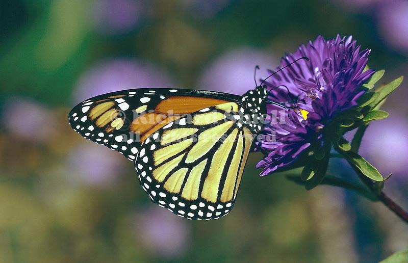 2215-HK Danaus plexippus, Monarch